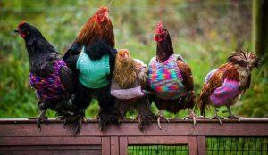 tavuklar-usumesin-diye-minik-kazaklar-orduler-93023-5