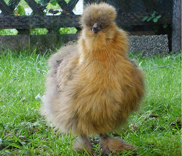 Habeş Tavuğu - Silkie Chickens