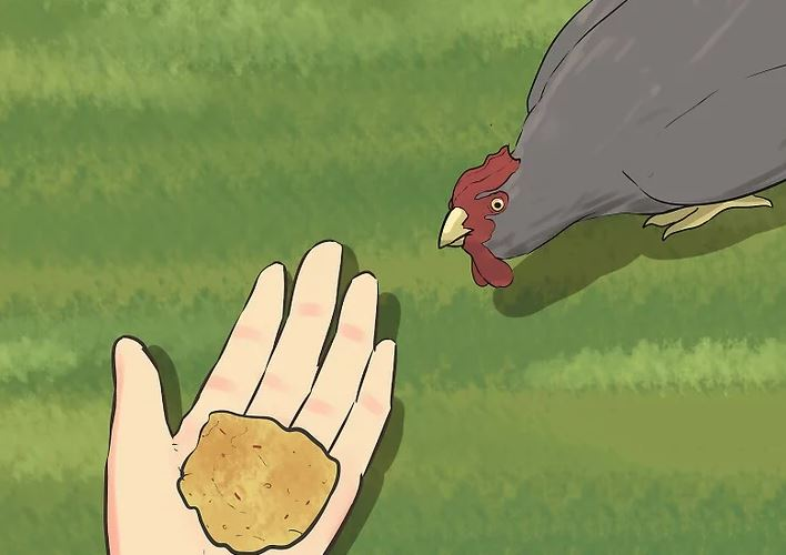 Tavuklarımı Nasıl Eğitirim Tavuk Nasıl Eğitilir (1)