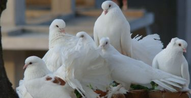 Civciv, Piliç ve Yaşlı Tavuklarımıza Nasıl Bakmalıyız (10)
