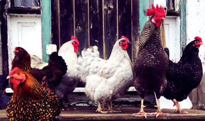 Tavuklarınızın Soğuk Havaya Karşı Korunmasına Yardımcı Olun!