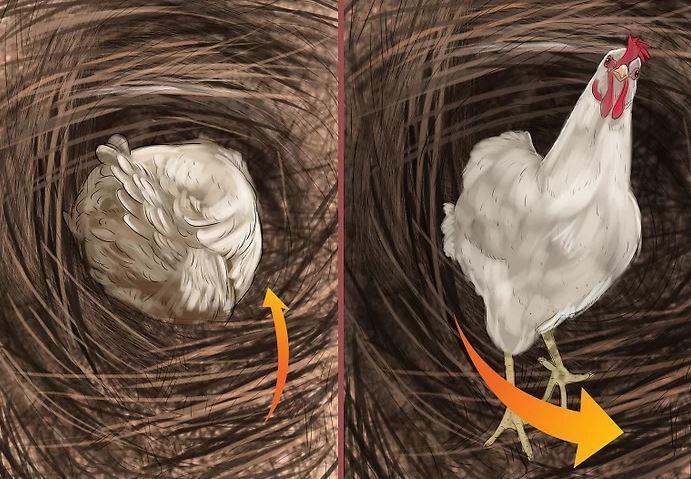 Tavuklarda Yumurta Sıkışması