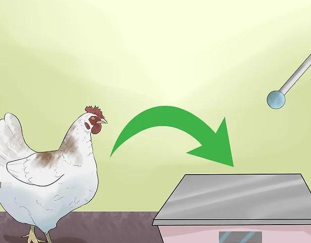 Tavuklarımı Nasıl Eğitirim Tavuk Nasıl Eğitilir