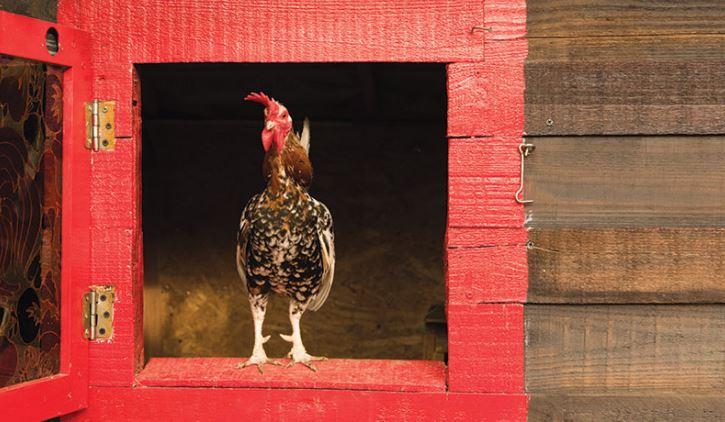 Tavuklarda Strese Neden Olan 6 Faktör