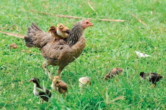 Harikalar Diyarı - Civciv Satışı