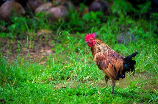Soğuk Havaya Dayanıklı Tavuk Cinsleri