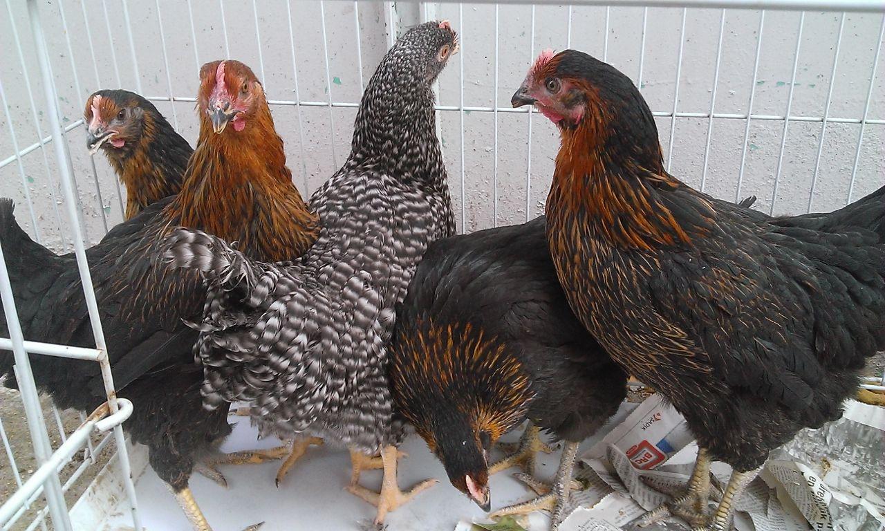 Yumurta Verimi Yüksek Tavuk Irkları