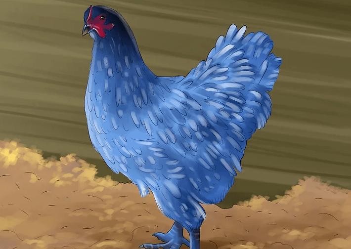 Tavuk Boyama Harikalar Diyarı