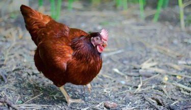 Tavuk ırkları önemli ölçüde farklıdır. Bu nedenle, ırkları seçerken sizin için neyin önemli olduğunu (ete, davranışa, yer gereksinimlerine, hava şartlarına dayanıklılığa) dikkat edin. Tavuklarınız rahatsa - çok sıcak veya soğuk değil - daha fazla yumurta ve daha iyi et üretecek ve onlar da daha sağlıklı olacak. Sonunda, tavuklarınızın neye ihtiyacı olduğunu ve neler sunduğunuzu araştırın. Sürüsünüzün mutlu ve üretken olmasını sağlamanın uzun bir yolu olacak.