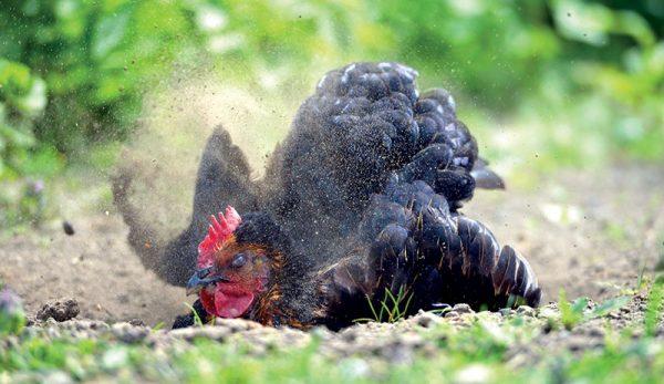 Tavuklarda 3 Büyük Parazit
