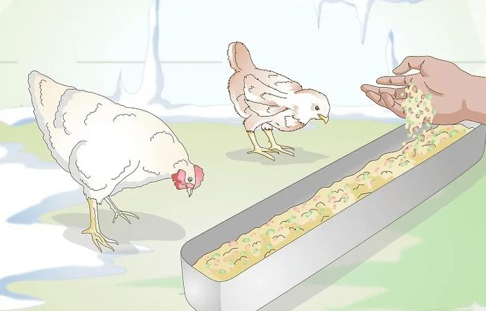 Kış aylarında tavuklar nasıl beslenir?
