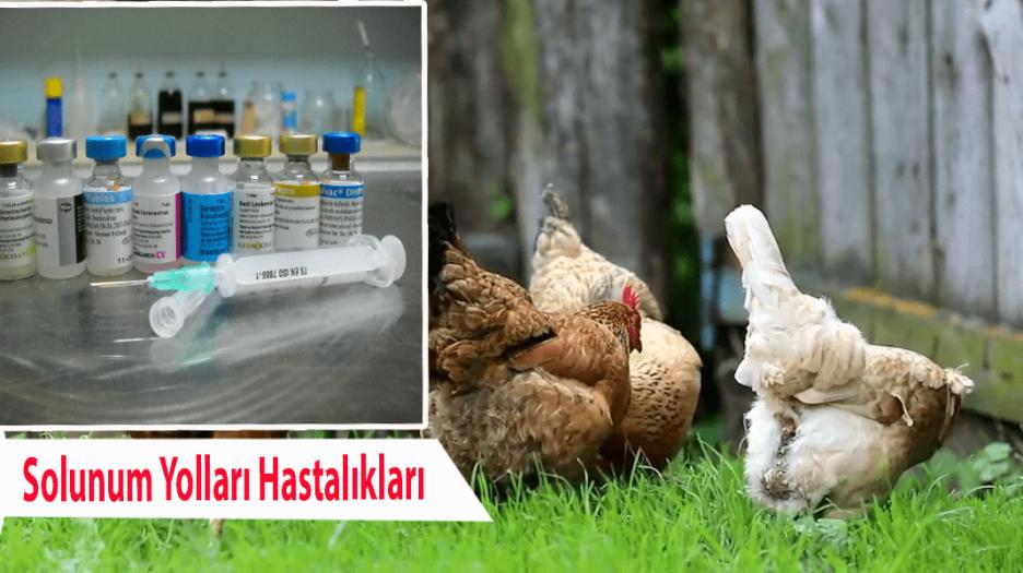 Tavuklarda Solunum Yolları Hastalıkları (Bronşit)