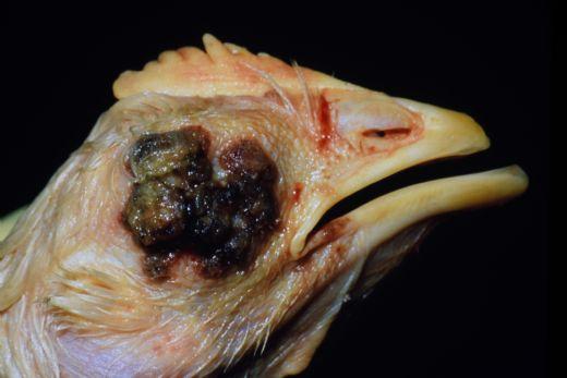 Hindilerde Karabaş Hastalığı Tedavisi