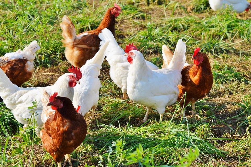 Tavukların Yumurta Verimi Neden Düşer?