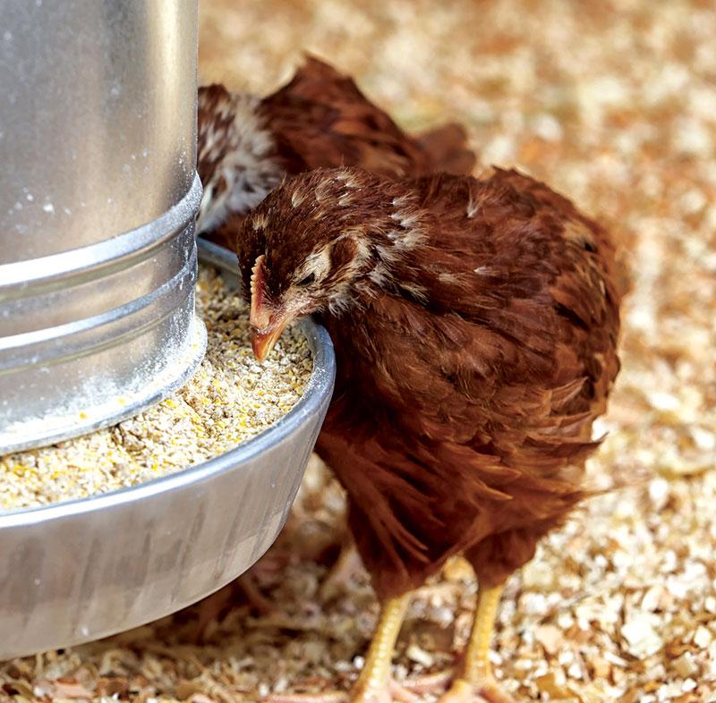 Tavuk Beslemenin 5 Temel Yönü