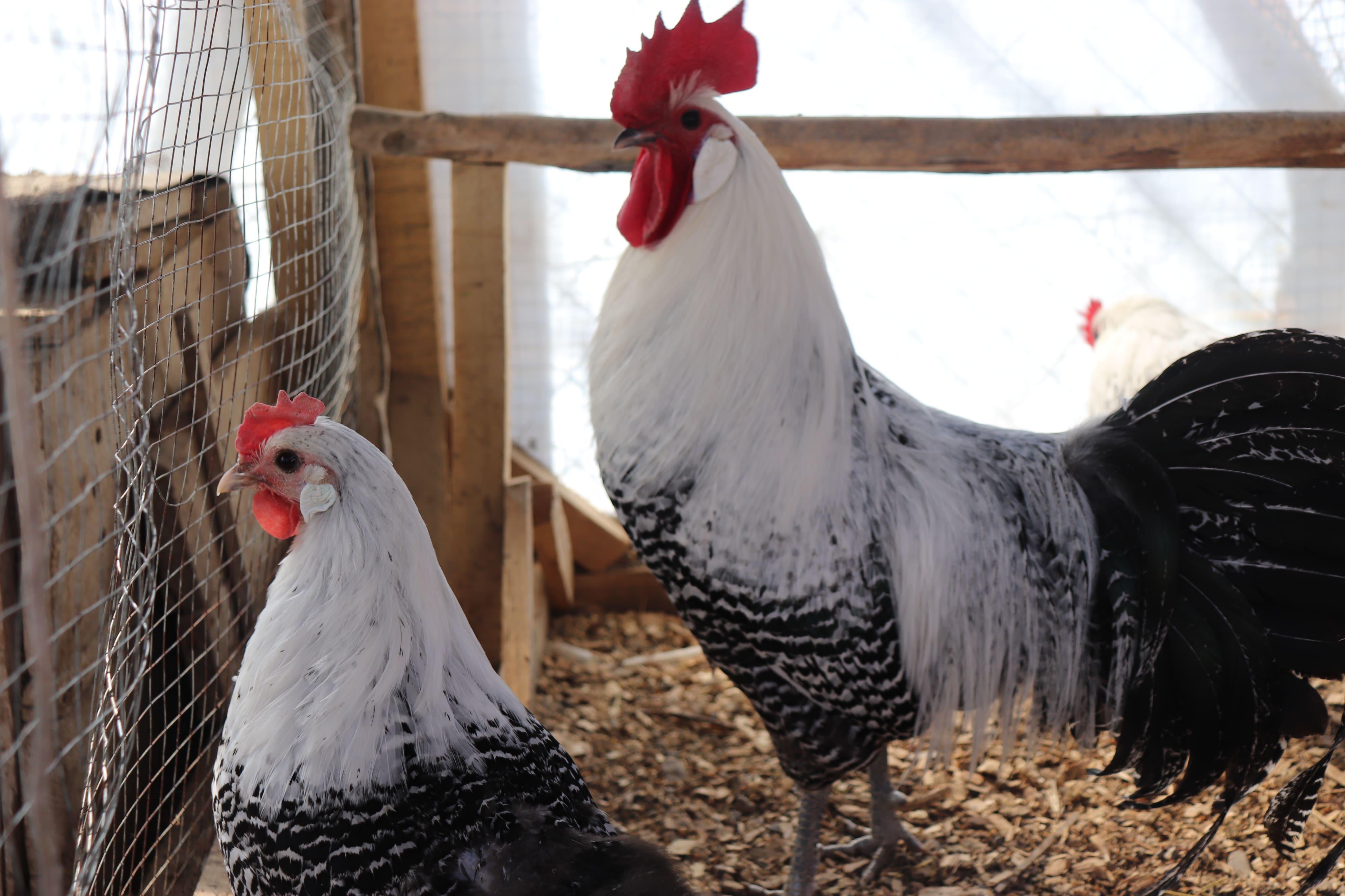 Kuluçkalık Brakel Tavuğu Yumurtası Satın Al