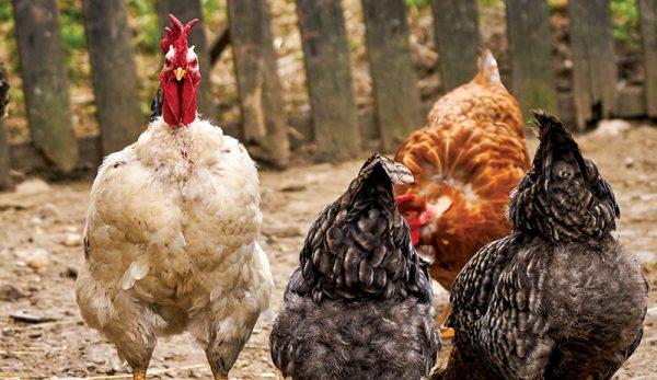 Tavuk Sağlığı - Sürünüzü Etkileyebilecek Hastalıklar