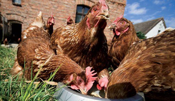 Maliyeti düşürüp Tavukların verimini artırmak için ne tür bir yem almalıyım?