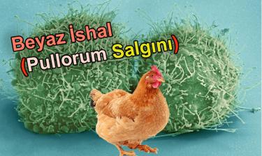 Tavuklarda beyaz İshal (Pullorum Salgını) Tehlikeli!