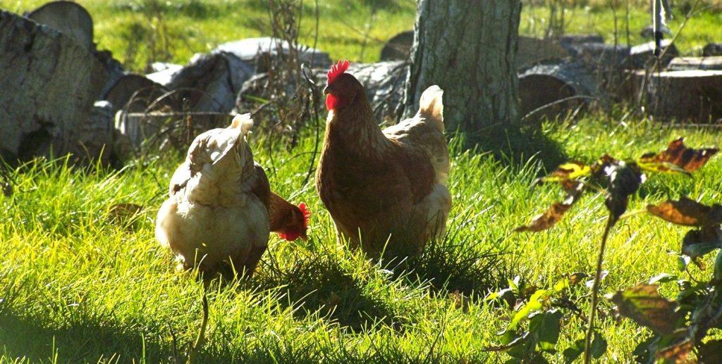 Tavuk Yeminde Para Tasarrufu Yapmanın 11 Yolu?