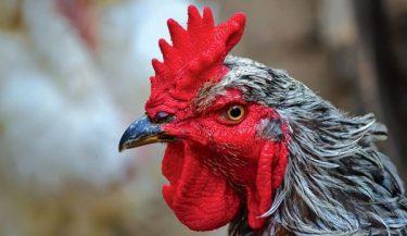 Tavuk Tarakları: Stilleri, Faydaları ve Amaçları