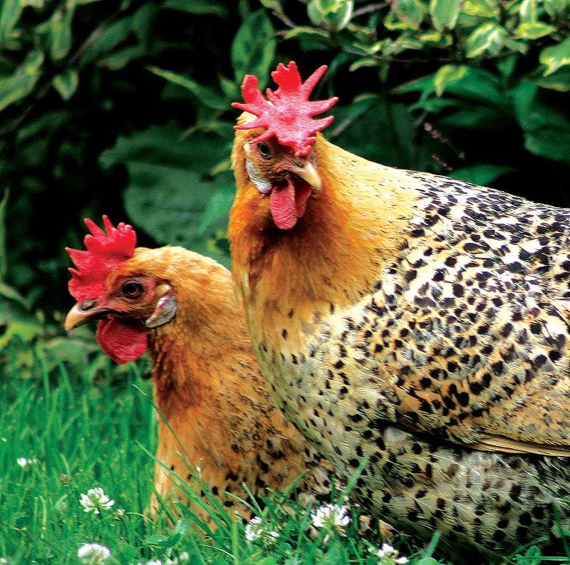 Tavuk Tarakları: Stilleri, Dokular ve Amaçları
