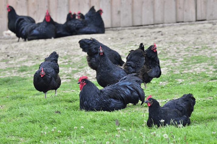 Australorp Tavukları Hakkında Bilgi