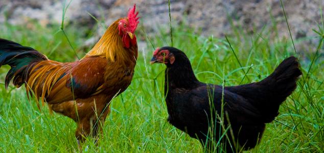 Siyah Tavuk Irkı