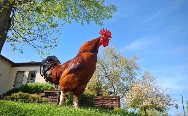 Tavuk Ne Zaman Yumurtlar ?