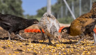 Tavuklar Ne Yer? | Ne Yememeli