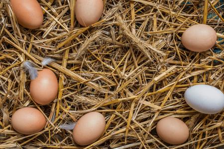 Tavukların Yumurtladığını Nasıl Anlarız?