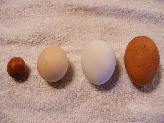 Çift Sarılı Yumurta Sebebi ve Nedenleri