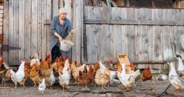 Tavuk Nasıl Yumurtlatılır? Tavuklar Yumurtlamıyor