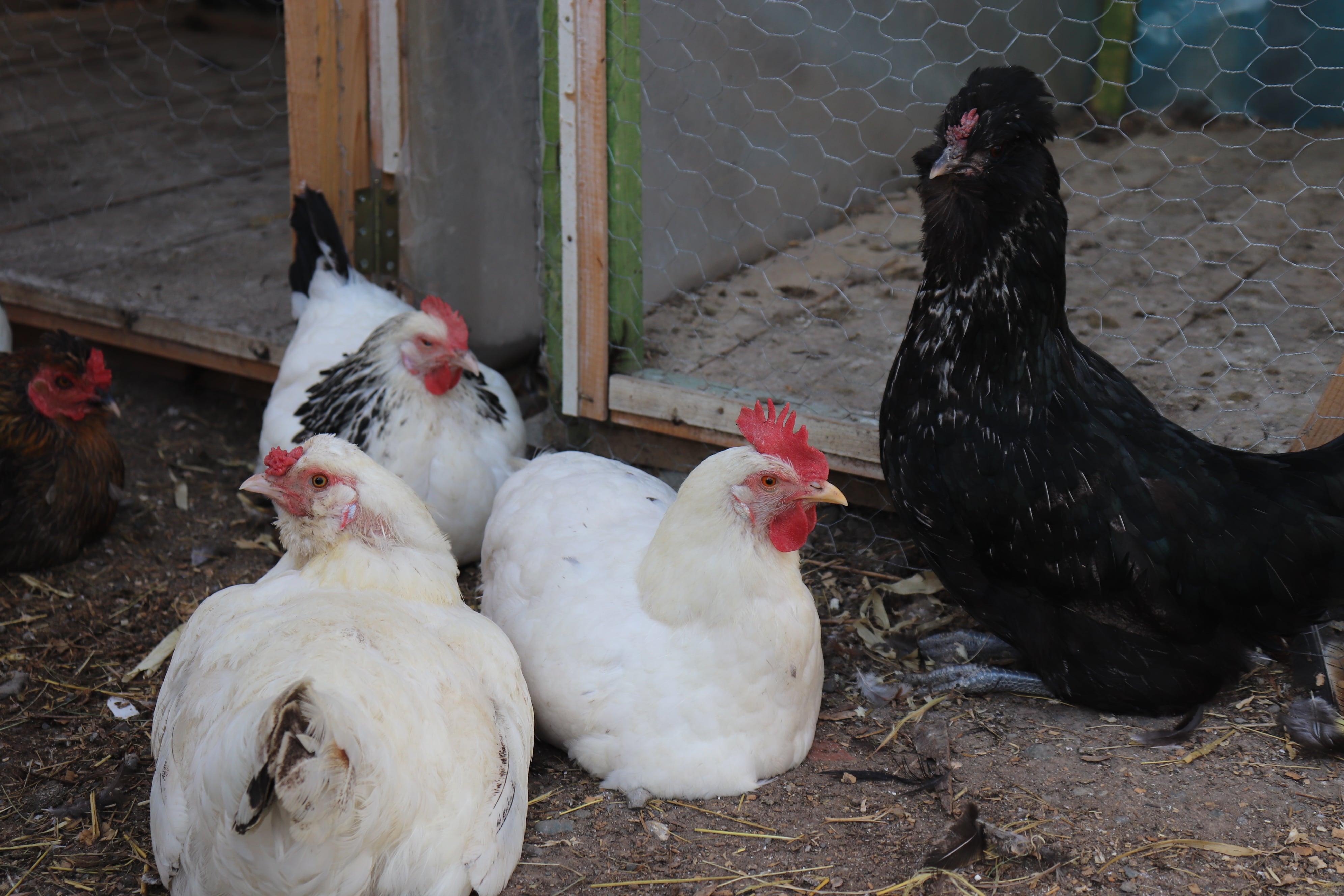 Karışık Süslü Köy Tavuğu Kuluçkalık Yumurtası