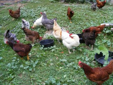 Tavukları Nasıl Beslerim
