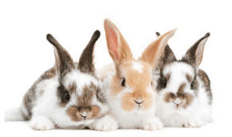 Tavşan Yetiştiriciliği Hakkında Bilgi