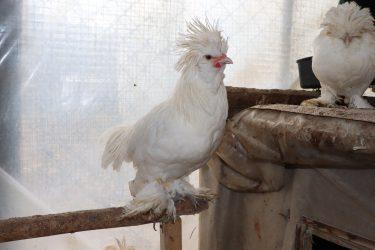 Sultan Tavukları