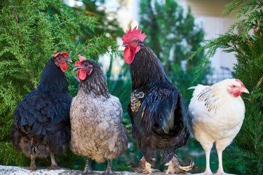 Tavuk Cinsleri Hakkında Bilgi